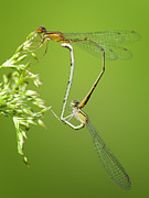 Dragonflies Photos - Orange Bluet Pair by Jeremy Martin