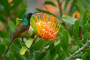Proteas Photos - Orange-breasted Sunbird by Bruce J Robinson