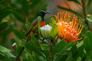 Proteas Prints - Orange-breasted Sunbird II Print by Bruce J Robinson