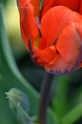 Hill and Dale Photography - Orange Burning Tulip