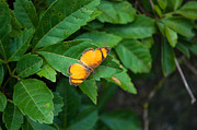 Florentina De Carvalho - Orange butterfly 2