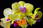 Yellow Flowers Posters - Orange butterfly and yellow orchids Poster by Garry Gay