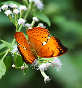 Backyard Civilization  - Orange Butterfly