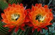 Macro Digital Art Framed Prints - Orange Cactus Flowers Framed Print by Nancy Mueller