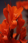 Canna Photos - Orange Canna by Denise Wagner