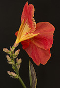 Canna Posters - Orange Canna Flower Poster by Denis Darbela