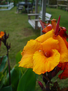 Canna Prints - Orange Canna Lily in El Tizate   Print by Nicki Bennett
