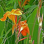 Orange Canna Lily In Tachilek-myanmar Print by Ruth Hager