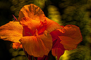Canna Posters - Orange Canna Poster by Sabine Edrissi