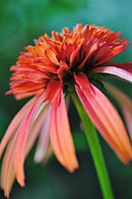 Kelly Nowak - Orange Coneflower 4