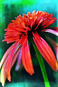Kelly Nowak - Orange Coneflower 5