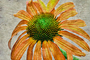Cone Flower Prints - Orange Crackle Print by Deborah Benoit