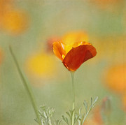 Poppies Art Gift Framed Prints - Orange Crush - California Poppy Framed Print by Kim Hojnacki