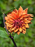 Grace Dillon - Orange Dahlia