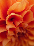 Shannon Workman - Orange Dahlia