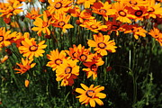 Perrenials Prints - Orange Daisies 5D22463 Print by Wingsdomain Art and Photography