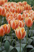 Bloom Photo Metal Prints - Orange Dutch Tulips Metal Print by Juli Scalzi