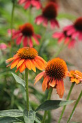 Theresa Willingham - Orange Echinacea