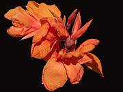Canna Mixed Media - Orange Essence by Melanie Melograne