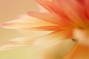 HJBH Photography - Orange flower petal abstract