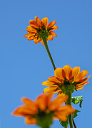 Debbie Karnes Prints - Orange flowers on blue sky Print by Debbie Karnes