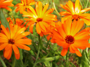 Orange Photo Prints - Orange Flowers Print by Thomas R Fletcher