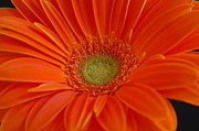 Patrick Shupert Metal Prints - Orange Gerber Daisy Metal Print by Patrick Shupert