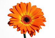 Orange Gerber Daisy Perfection Print by Juergen Roth