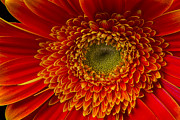 Gerbera Daisy Metal Prints - Orange Gerbera Daisy Metal Print by Garry Gay
