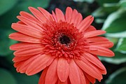 Tammy Franck - Orange Gerbera Daisy