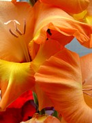 Gladiolas Posters - Orange Glad Poster by Judyann Matthews