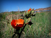 Watson Lake Photos - Orange Globe Mallow and the Lake by Aaron Burrows