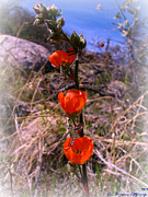 Watson Lake Photos - Orange Globe Mallows by Aaron Burrows