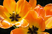 Barbara McMahon - Orange Glow