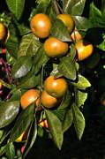 Gouzel - - Orange