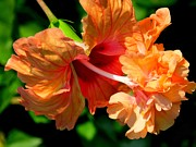 Plant Greeting Cards Prints - Orange hibiscus II Print by Zulfiya Stromberg