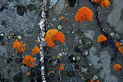 Carl R Battreall  - Orange Lichen