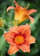 Orange And Green Framed Prints - Orange Lilies 2 Framed Print by Carol Groenen