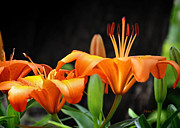 Nava Jo Thompson - Orange Lilly