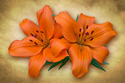 Jane Mcilroy Art - Orange Lily by Jane McIlroy
