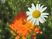 Lorna Kay - Orange Marigold and ...