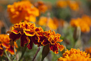 Sarah Yost - Orange Marigolds