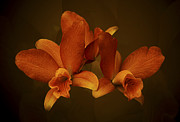 Judy  Johnson - Orange Orchid