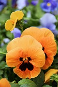Elizabeth Budd - Orange Pansies