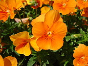 Jennifer Vazquez - Orange Pansy Flowers of...