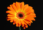 Gerber Daisy Art - Orange Perfection by Juergen Roth