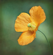 Poppies Home Decor Posters - Orange Pop Poster by Kim Hojnacki
