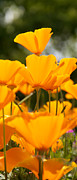 WDM Gallery - Orange Poppies on Top