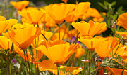 WDM Gallery - Orange Poppies Pop