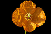 Blume Prints - Orange poppy flower Print by Matthias Hauser